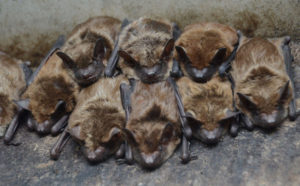 Bats, the Furry Fliers